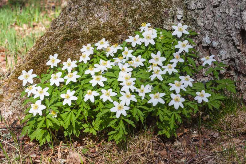 A close up horizontal image of wood anemones growing at the bottom of a large tree.