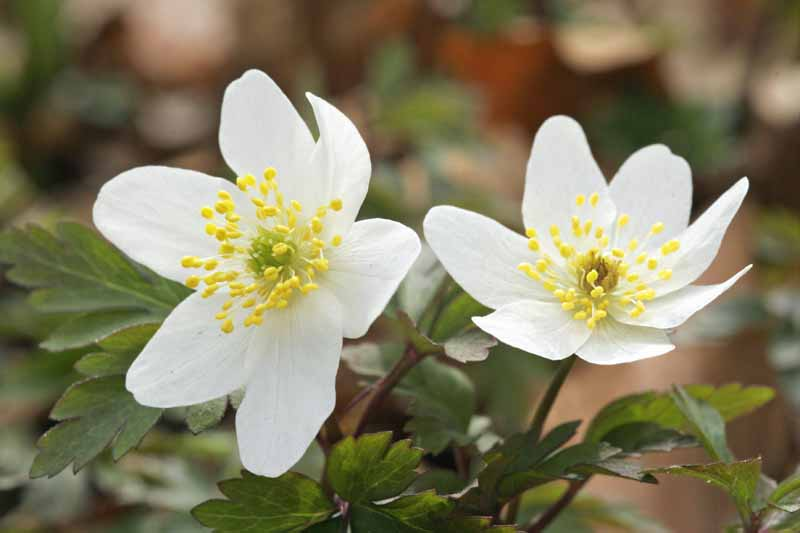 A close up horizontal image of two white wood anemone flowers blooming in early spring pictured on a soft focus background.