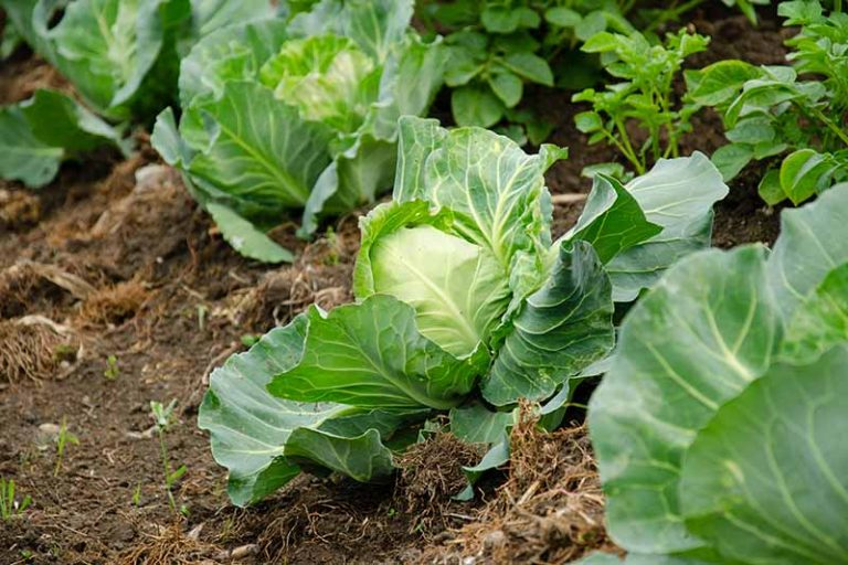 A close up horizontal image of cabbage growing in the garden in rows.