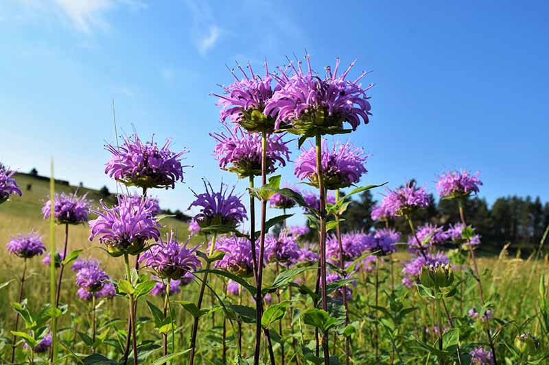 A close up horizontal image of light purple wild bergamot flowers growing in a wildflower meadow pictured on a blue sky background.