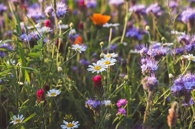 A close up horizontal image of wildflowers growing a meadow pictured in light sunshine.