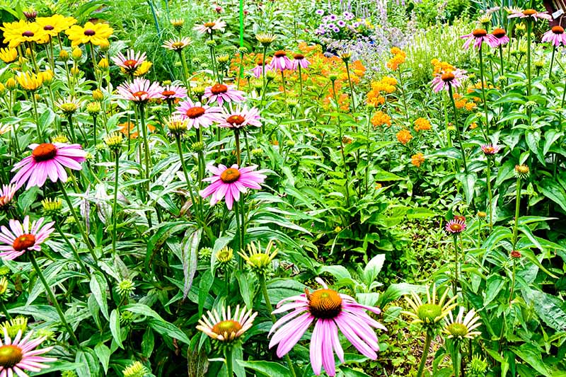 A horizontal image of native wildflowers growing in a naturalized planting.