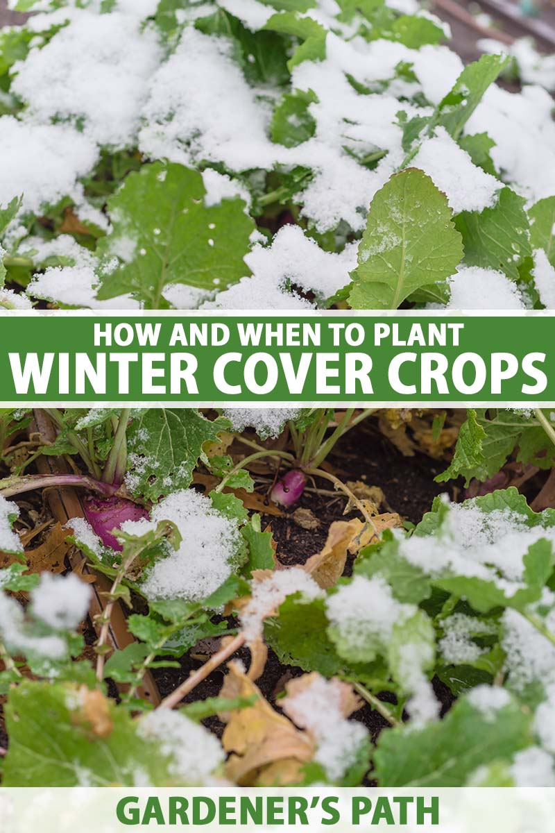 A close up vertical image of radishes planted as a winter cover crop with the foliage covered in a light blanket of snow. To the center and bottom of the frame is green and white printed text.