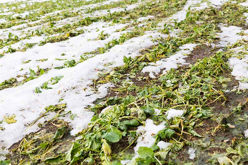 A horizontal image of a field planted with a winter-kill cover crop covered in a light blanket of snow.