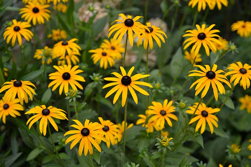 A close up horizontal image of bright yellow black-eyed Susan flowers growing in the garden pictured on a soft focus background.