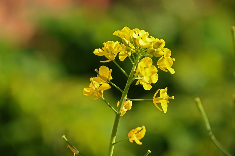 A close up horizontal image of the small yellow flowers of a brassica plant that has bolted, pictured in bright sunshine on a soft focus background.