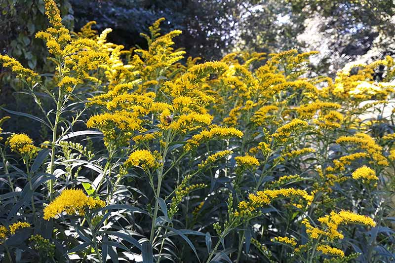 A close up horizontal image of gray goldenrod growing in the garden.