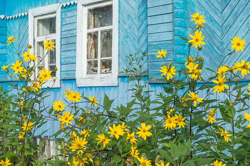 A horizontal image of the bright yellow flowers of Jerusalem artichokes growing outside a light blue residence.