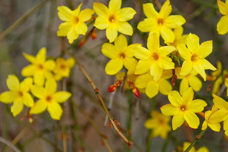 A close up horizontal image of yellow flowers of winter jasmine growing in the garden.