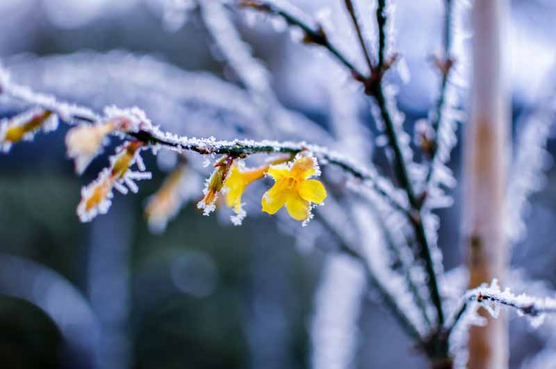 A close up horizontal image of yellow jasmine flowers on a frosty morning pictured on a soft focus background.