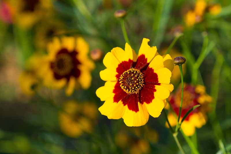 A close up horizontal image of a yellow and red plains coreopsis flower growing in the garden pictured on a soft focus background.
