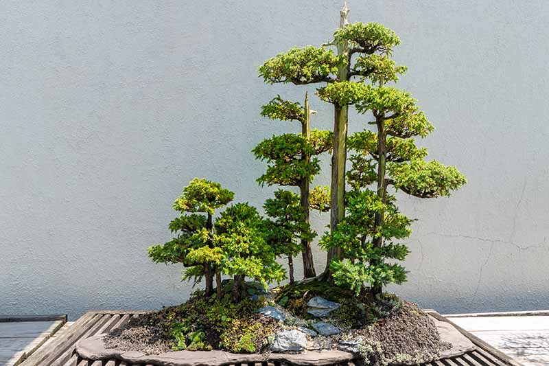 A close up horizontal image of a yose-ue (forest) style of bonsai set on a wooden surface with a light gray wall in the background.