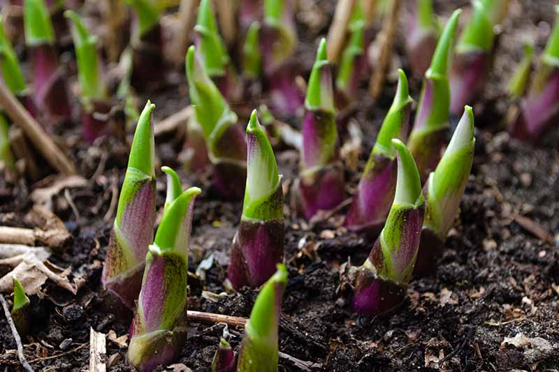 A close up horizontal image of the young shoots of hosta plants pushing through the soil in spring.