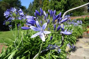 How to Care for Agapanthus Plants in Winter