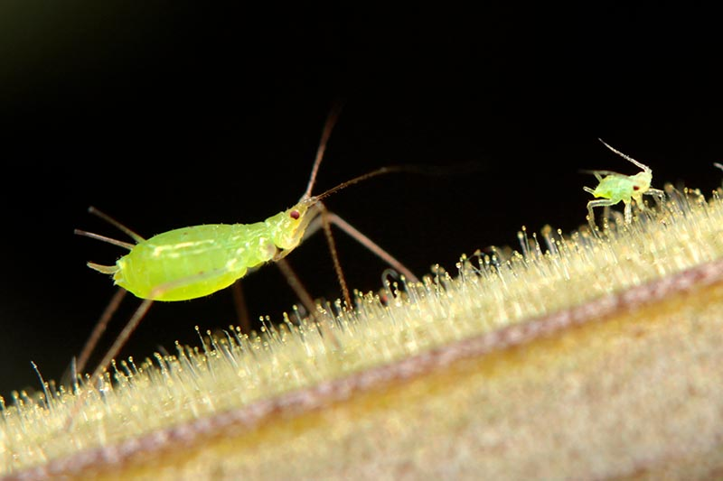 A close up horizontal image of aphids on a dark background.