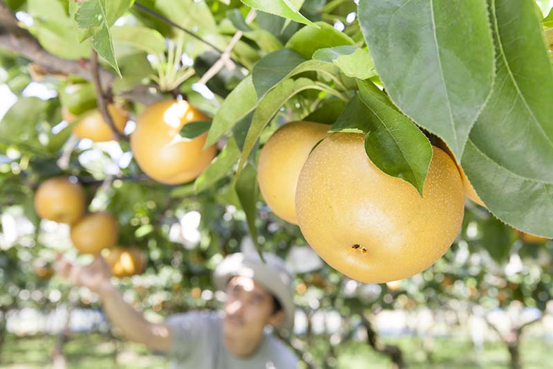 A close up horizontal image of Asian pears growing in the garden pictured on a soft focus background.