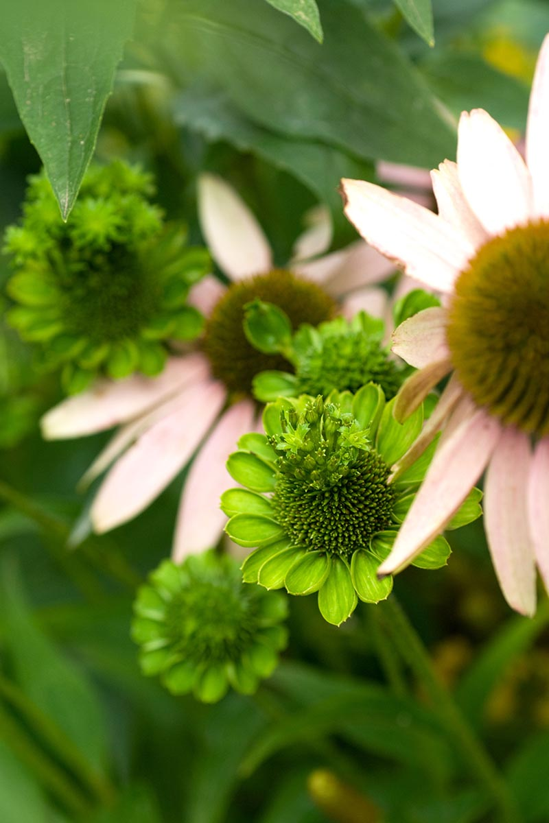 A close up vertical image of an echinacea plant suffering from aster yellow disease.