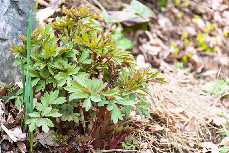A close up horizontal image of the foliage of a small bleeding hearts plant emerging from the ground in springtime.