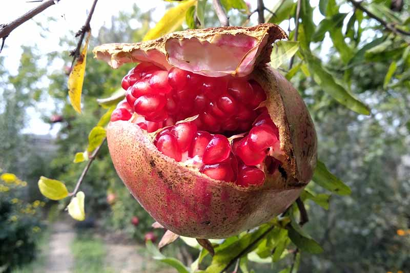 A close up horizontal image of an overripe pomegranate growing on the tree that has split open to reveal the bright red arils inside.