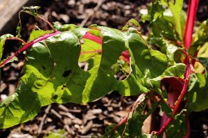 13 Common Pests That Attack Swiss Chard