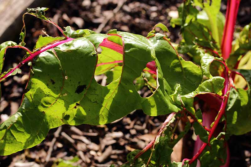 A close up horizontal image of a Swiss chard plant that has been damaged by pests, pictured in bright sunshine.