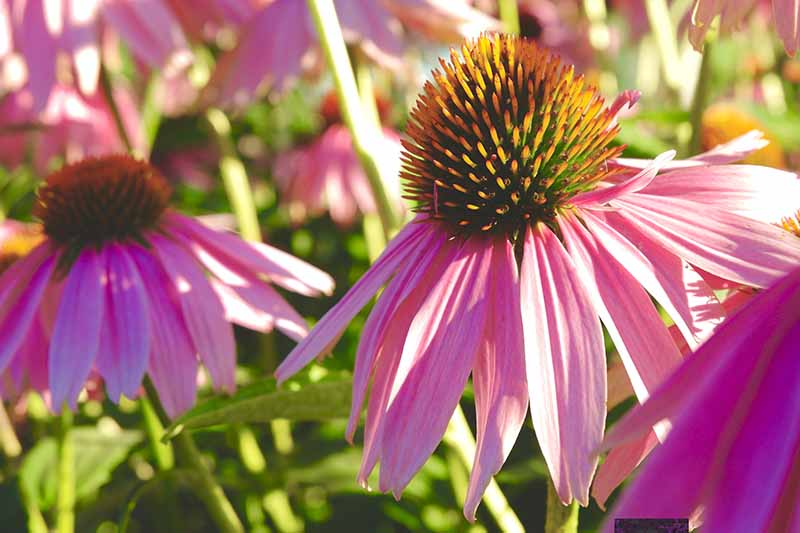 A close up horizontal image of bright pink coneflowers growing in the garden pictured in light filtered sunshine.