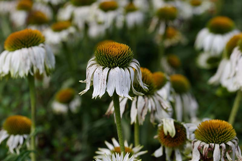 A close up horizontal image of white coneflowers suffering from fusarium wilt growing in the garden pictured on a soft focus background.