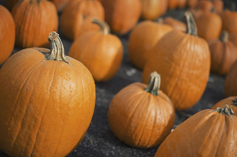 A close up horizontal image of pumpkins freshly harvested and set on the ground to cure.