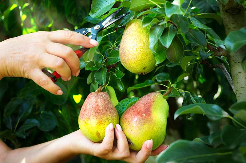 A close up horizontal image of a gardener harvesting pears using a pair of snips pictured in light sunshine.