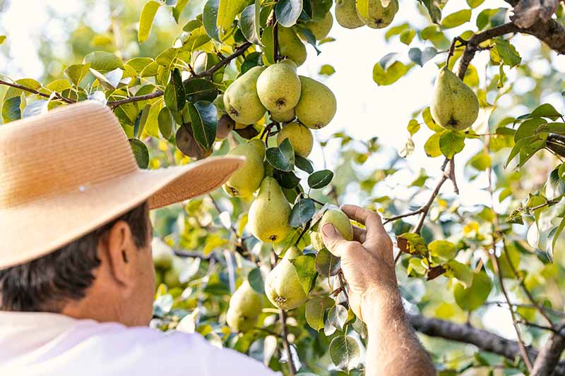 A close up horizontal image of a gardener checking pears on the tree to check for ripeness.