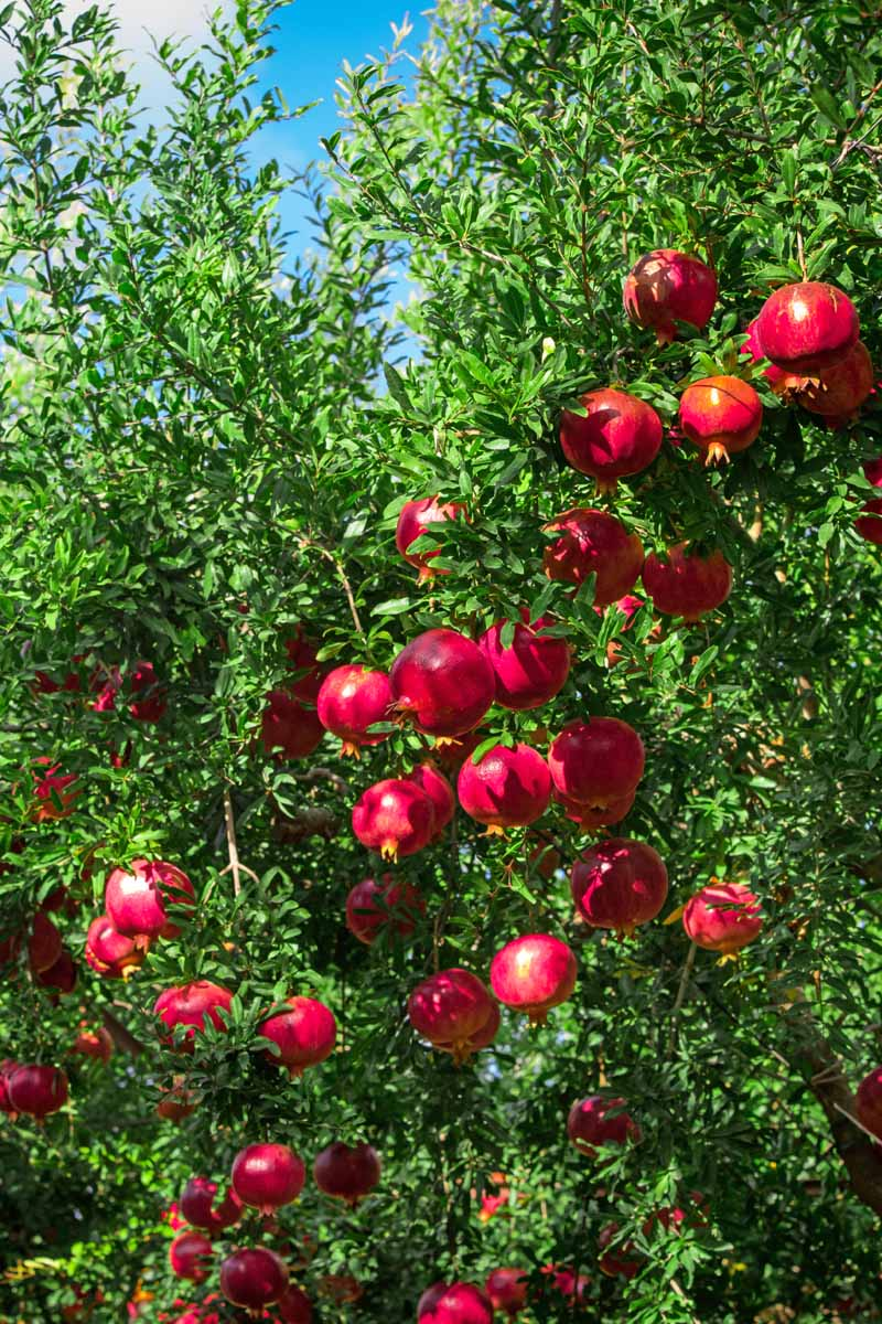 A close up vertical image of ripe red pomegranates growing on the tree pictured in bright sunshine on a blue sky background.