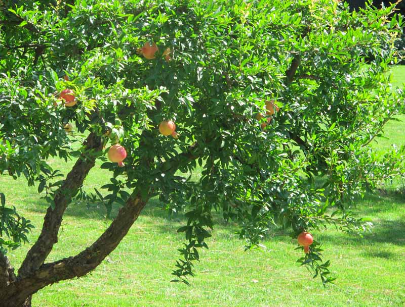A close up horizontal image of a mature pomegranate tree growing in an orchard pictured in bright sunshine.