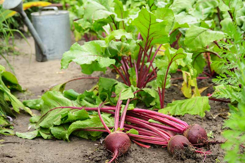 A close up horizontal image of freshly harvested beetroots set on the ground in the garden.