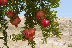 How and When to Fertilize Fruiting Pomegranates