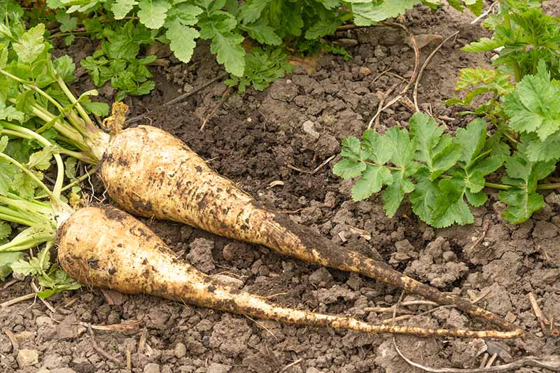 A close up horizontal image of two freshly dug parsnips on the ground in the garden.