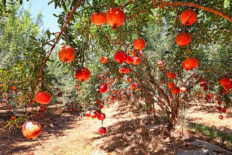A close up horizontal image of pomegranate trees growing in an orchard pictured in bright sunshine.