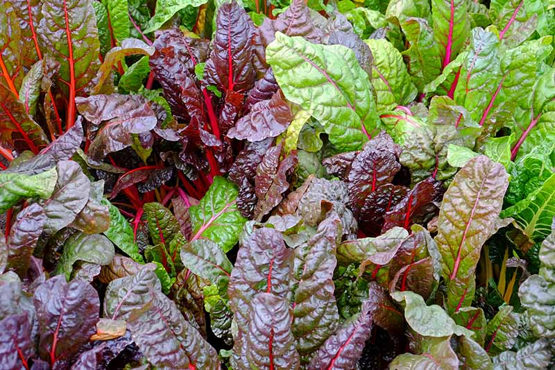 A close up horizontal image of Swiss chard growing in the garden.