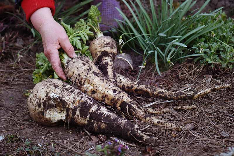 A close up horizontal image of freshly harvested parsnips set on the ground in the garden.