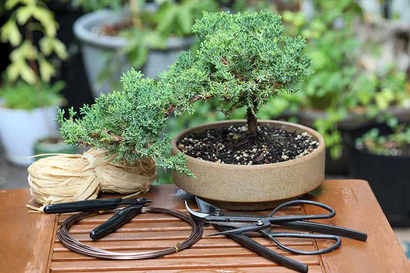 A close up horizontal image of a small bonsai tree set on a wooden table surrounded by maintenance supplies.