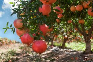 How to Grow and Care for Pomegranate Trees