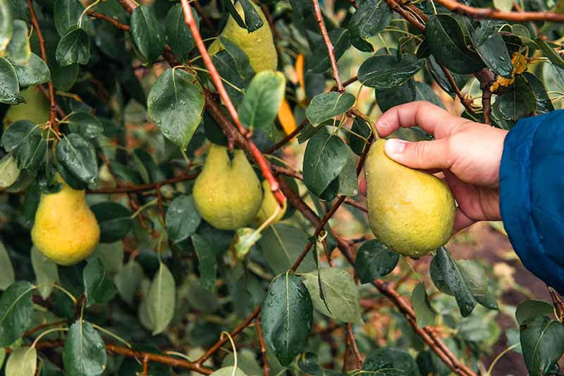 A close up horizontal image of a hand from the right of the frame testing a pear to see whether it is ready for harvest.