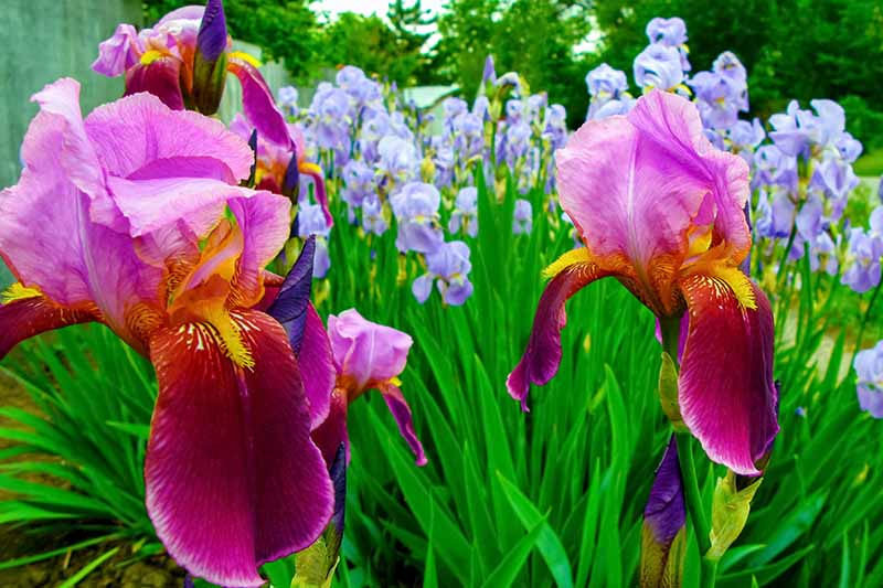 A close up horizontal image of irises growing in the spring garden pictured on a soft focus background.