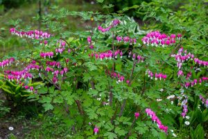 How to Prepare Bleeding Hearts for Winter