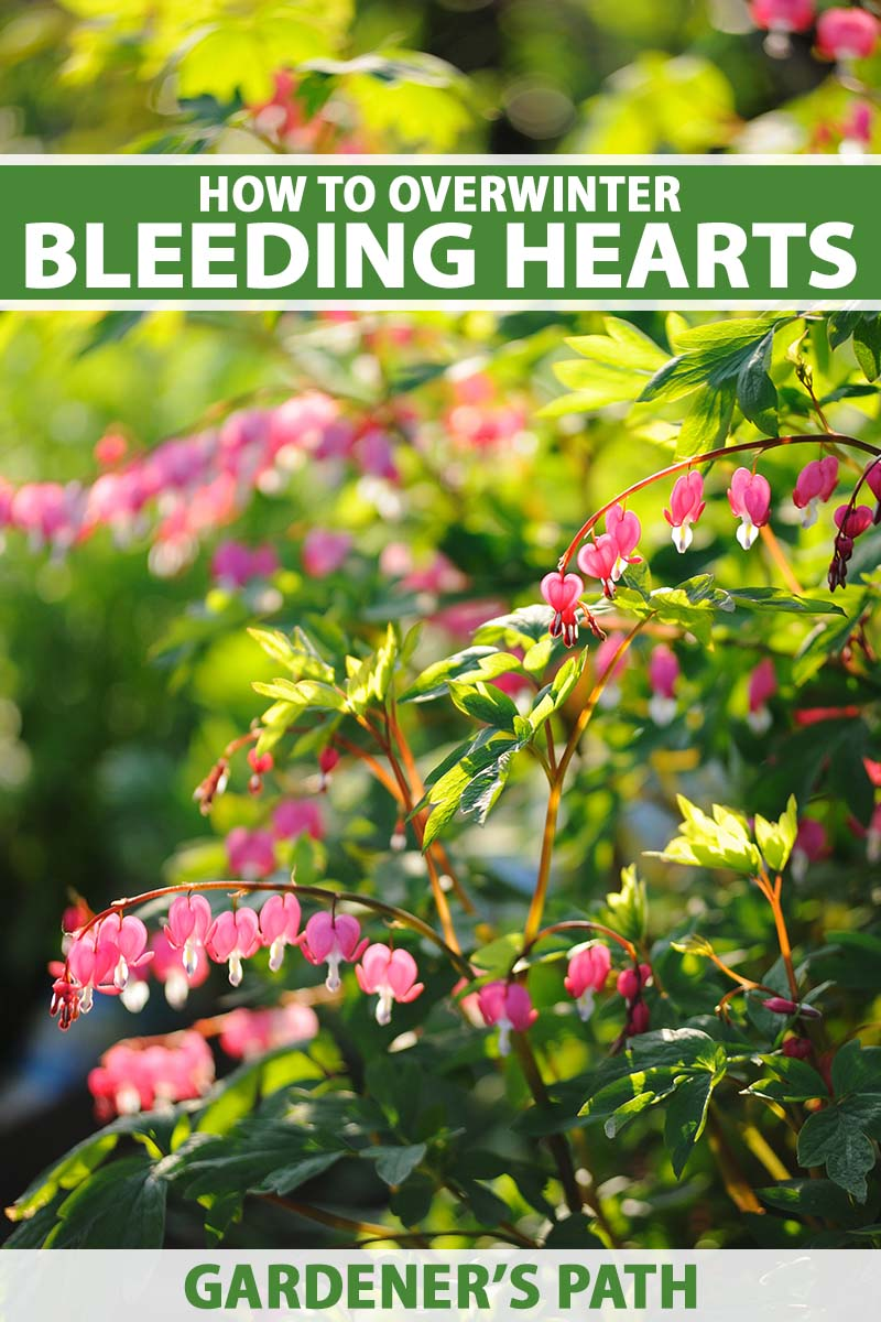 A close up vertical image of a bleeding hearts plant growing in the garden pictured in light evening sunshine pictured on a soft focus background. To the top and bottom of the frame is green and white printed text.