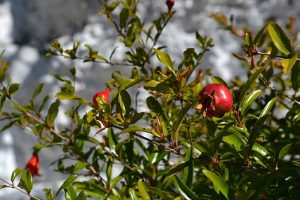 Pomegranate Propagation: The Best Methods to Grow Your Own Trees