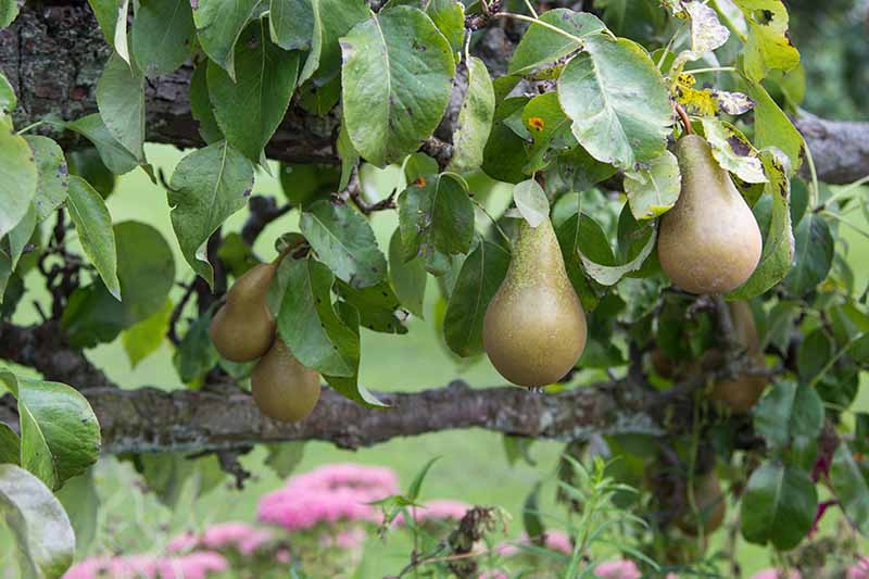 A close up horizontal image of pears growing in the garden pictured on a soft focus background.