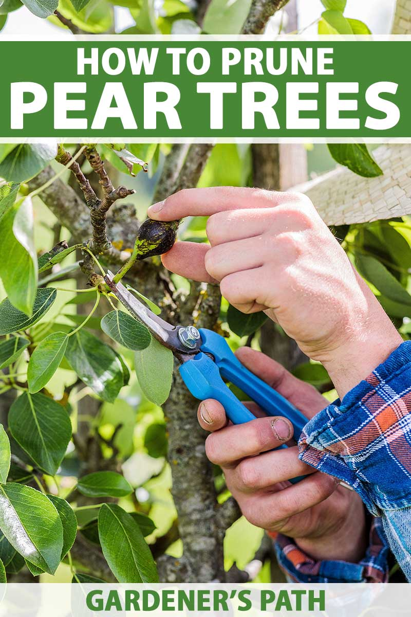 A close up vertical image of a gardener using a pair of secateurs to prune a pear tree pictured in light sunshine. To the top and bottom of the frame is green and white printed text.