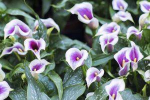 Tips for Calla Lily Winter Care