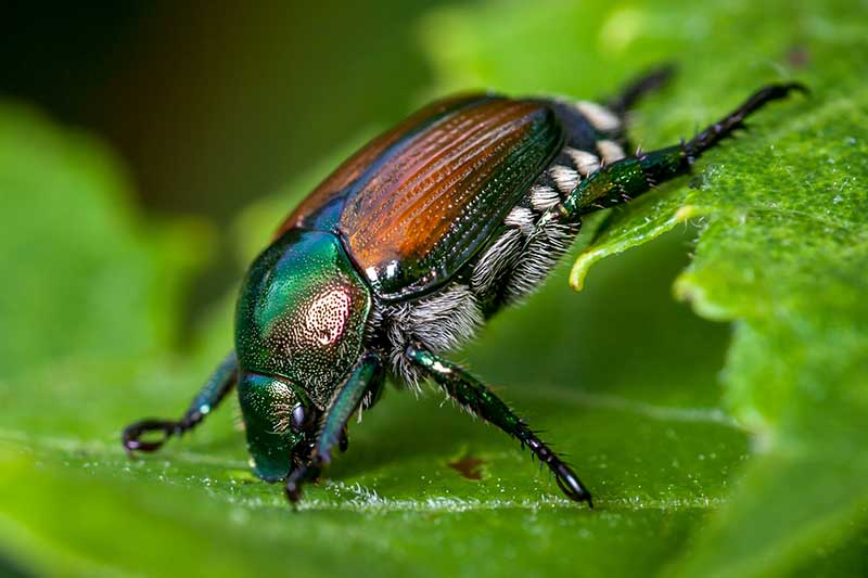 A close up horizontal image of a Japanese beetle on a green leaf pictured on a soft focus background.