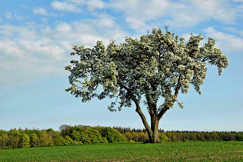 A horizontal image of a large pear tree isolated in the landscape pictured on a blue sky background.